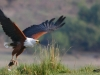 Fish Eagle and prey