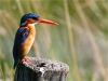 Malachite kingfisher in all his glory