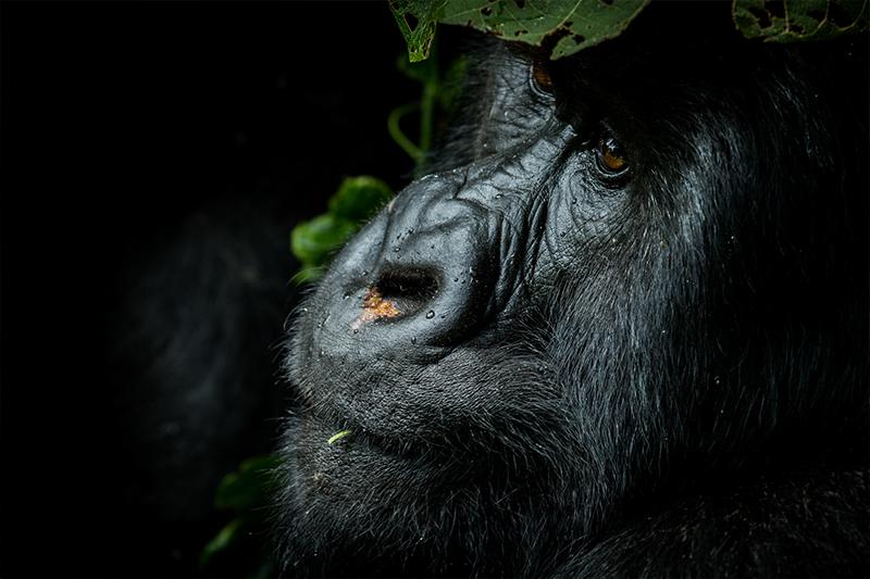 Pangolin Photo Safaris – Rwanda Add on