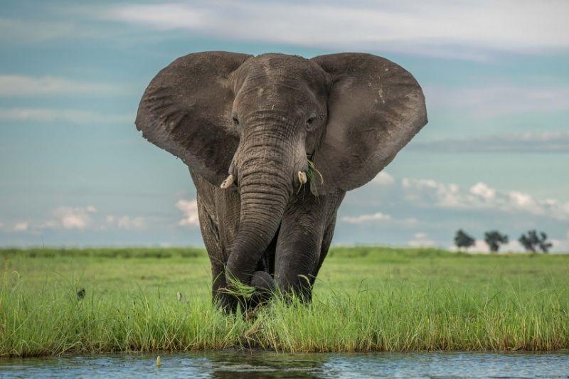 chobe elephant head on