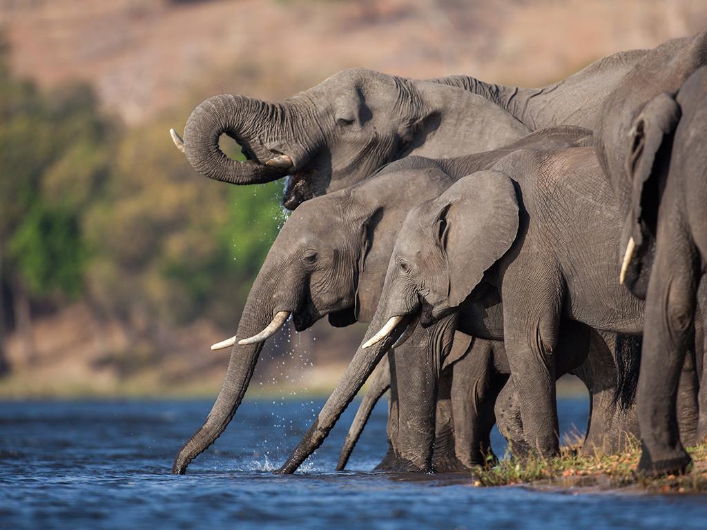 Elephants drinking at The Chobe River