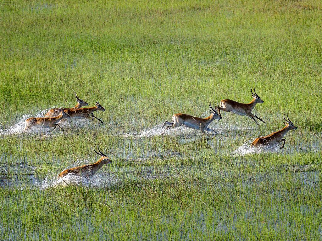 Red Lechwe running through the Okavango Delta