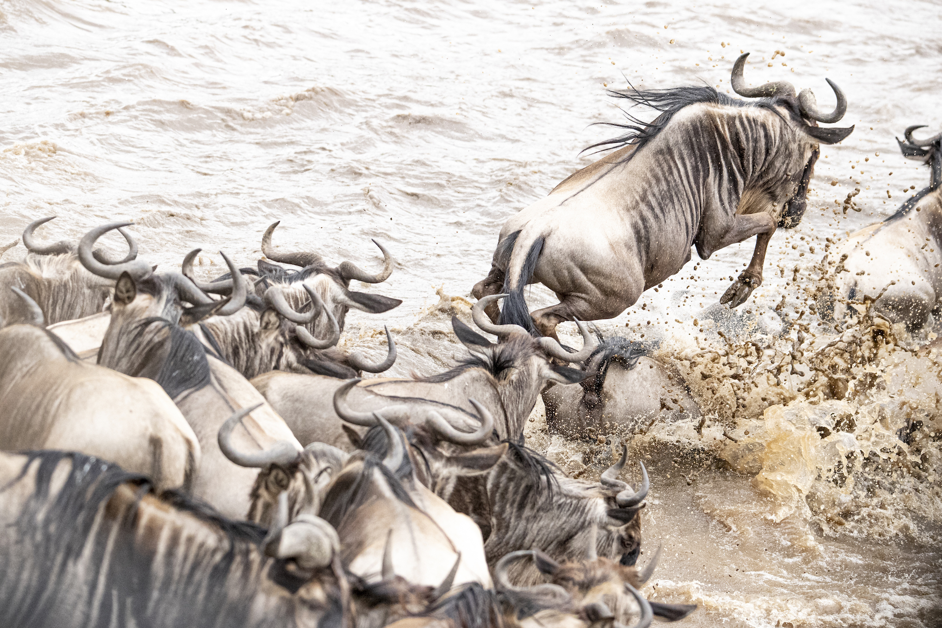 Wildebeest crossing during The Masai Mara Migration