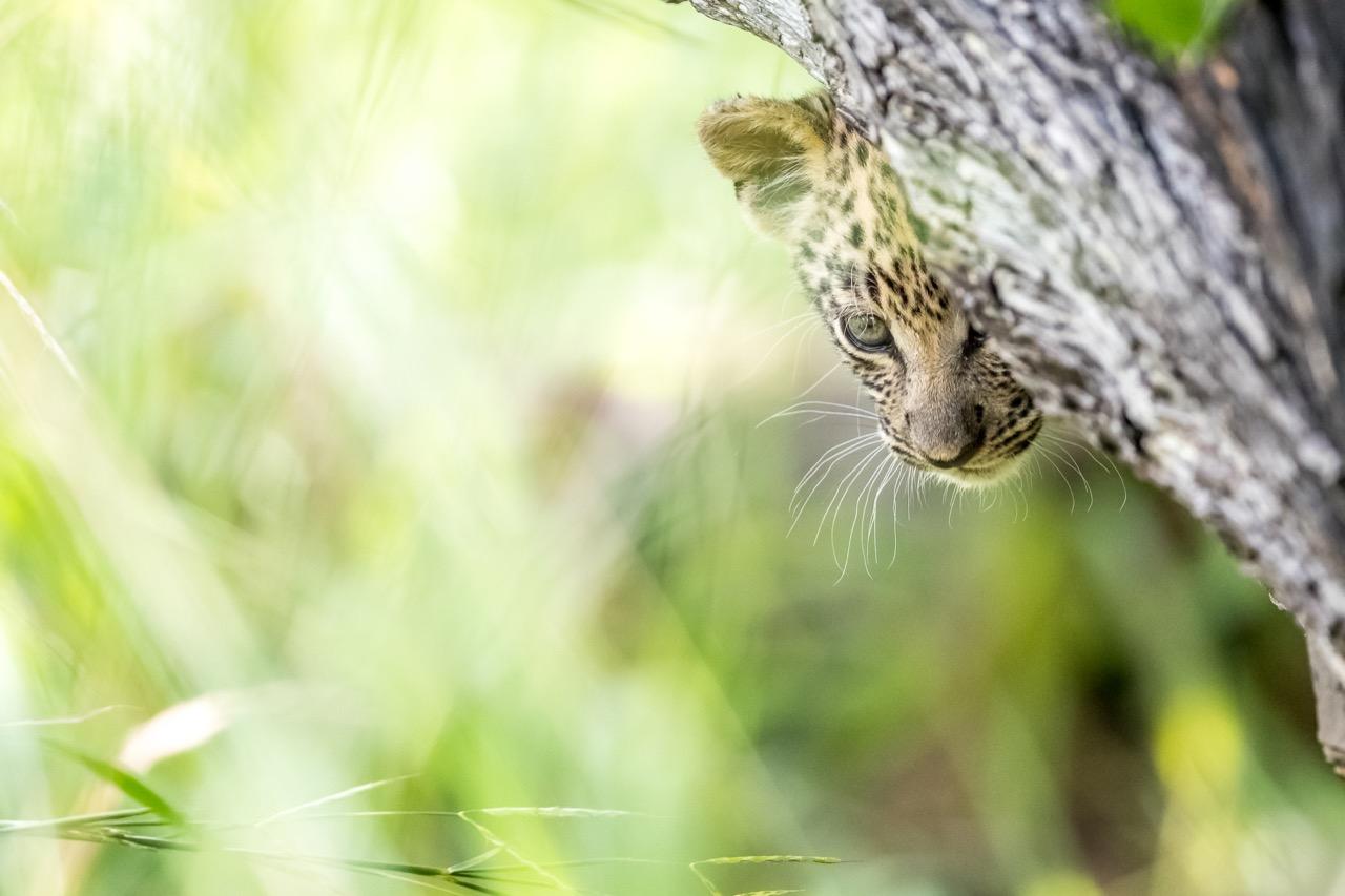 hidden baby leopard