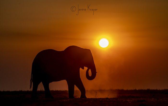 elephant at sunset - botswana seasons